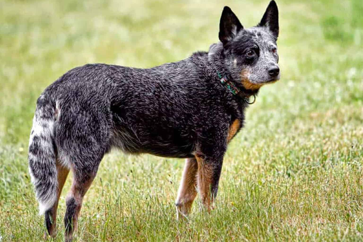 Australian Cattle Dog seitlich