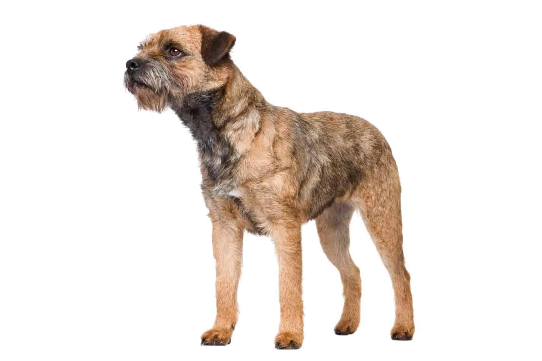 Border Terrier Profil