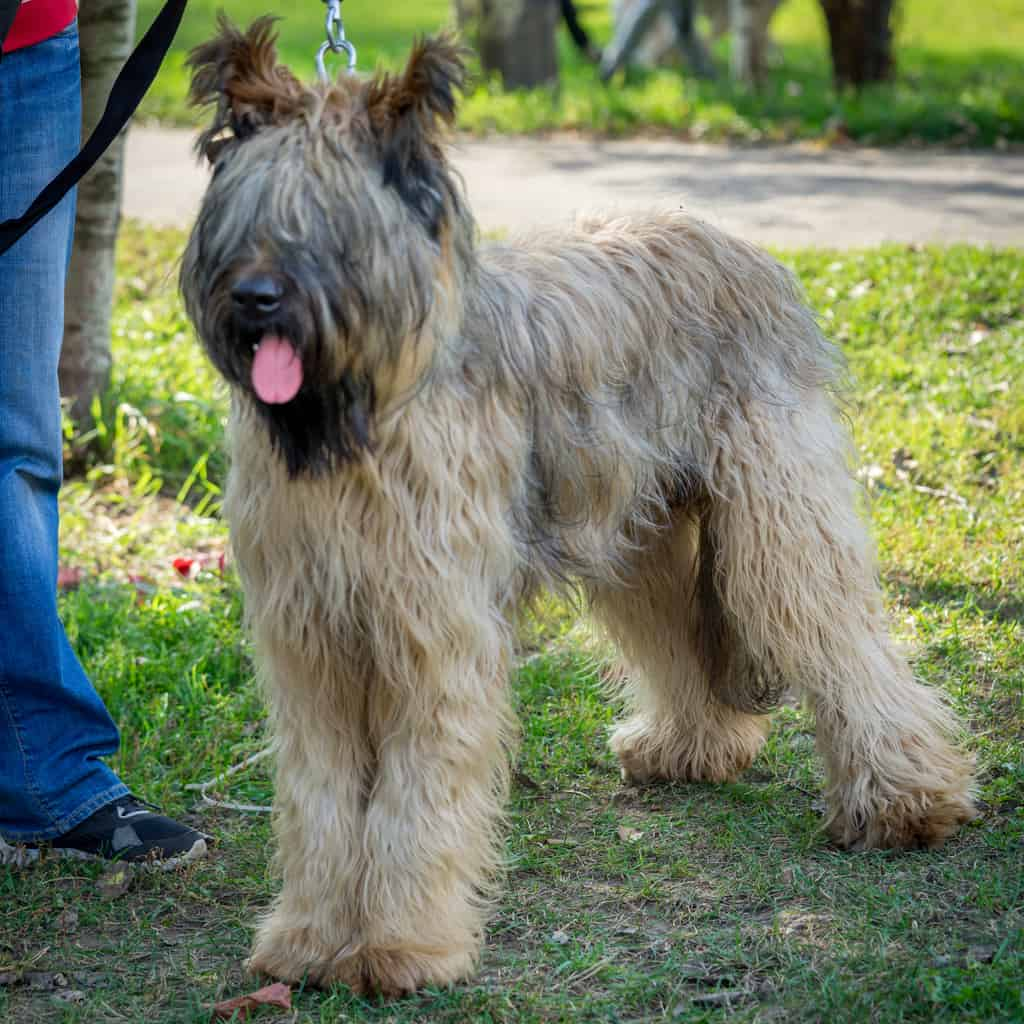 Briard dog - french shepherd standing in the yard