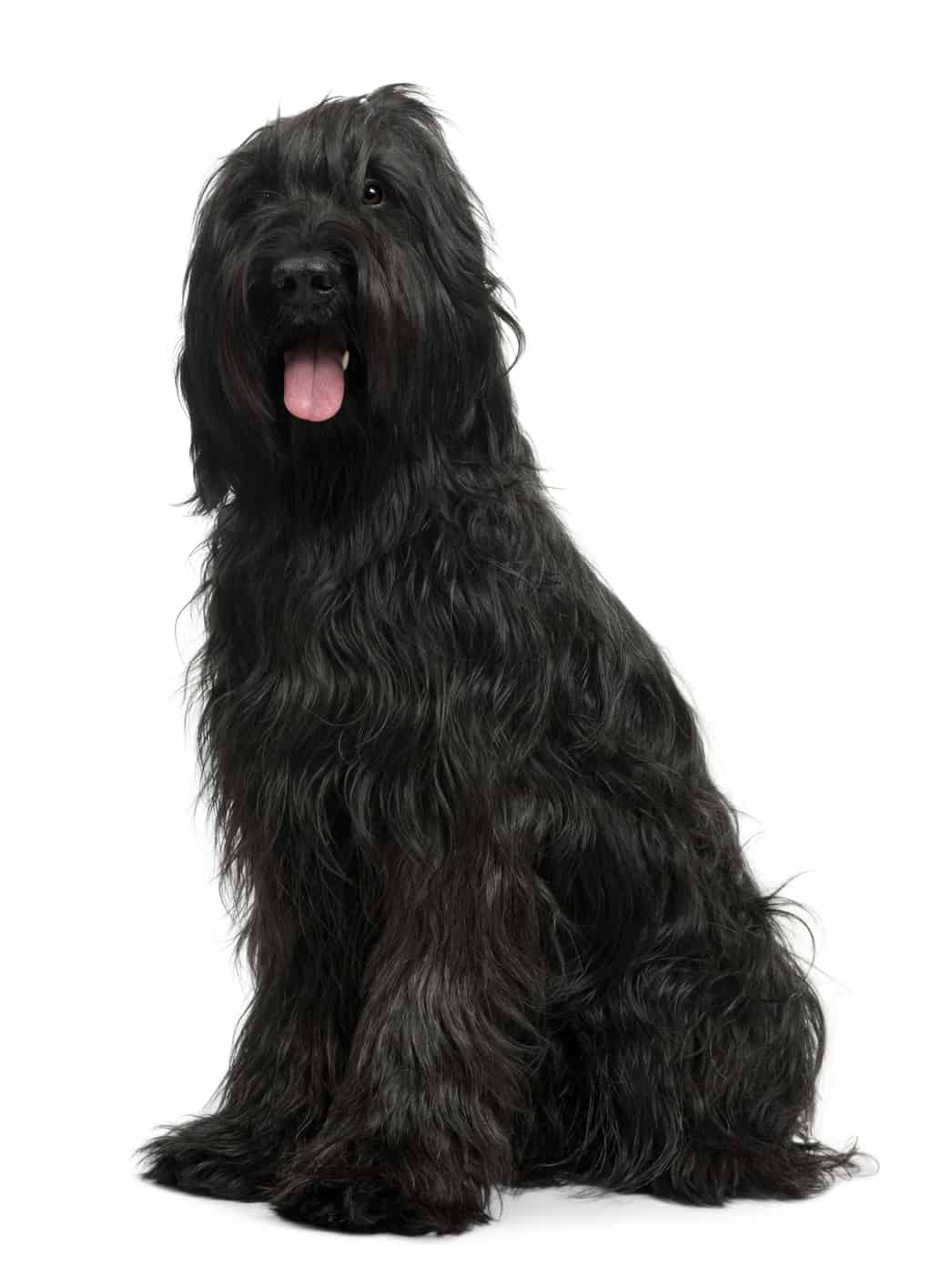 Briard, 3 years old, sitting in front of white background