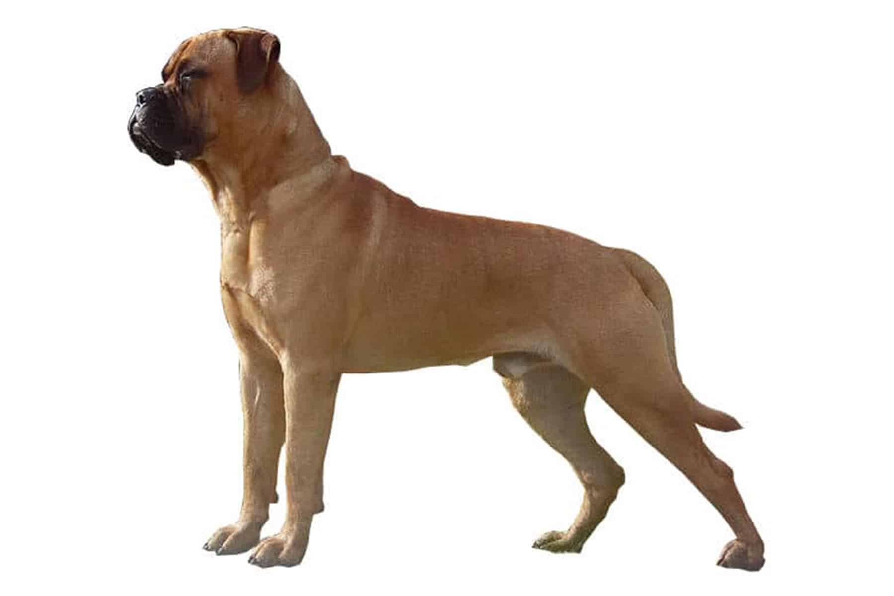 Bullmastiff Profil