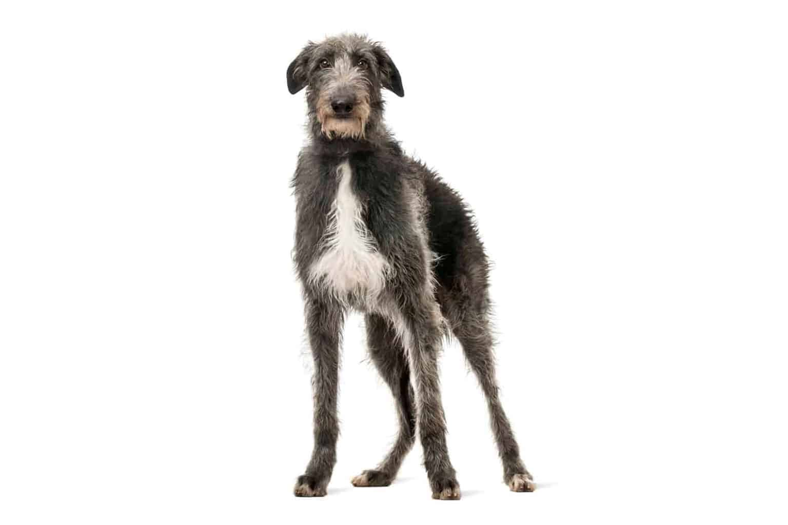 Deerhound Profil