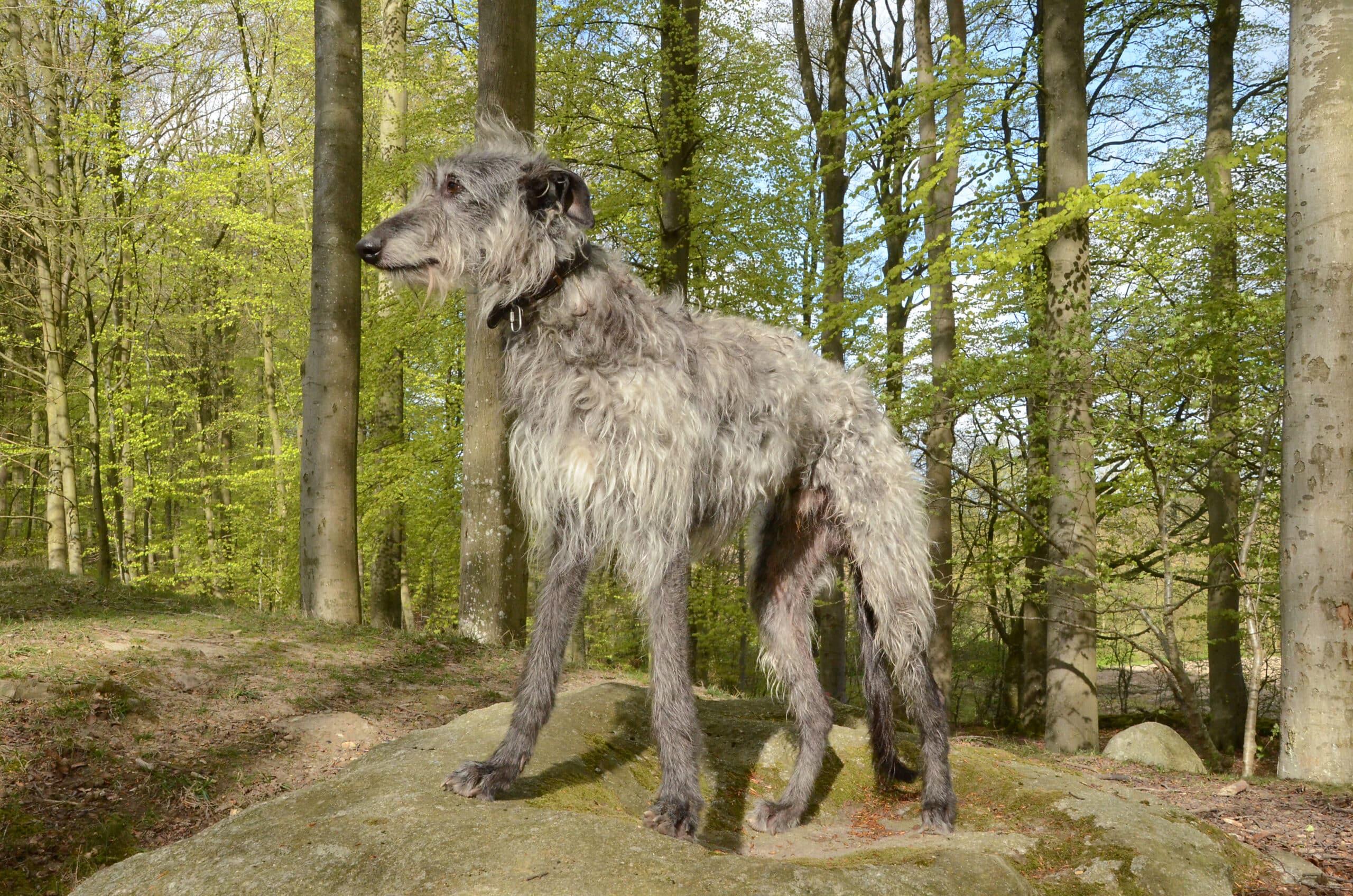 Deerhound seitlich