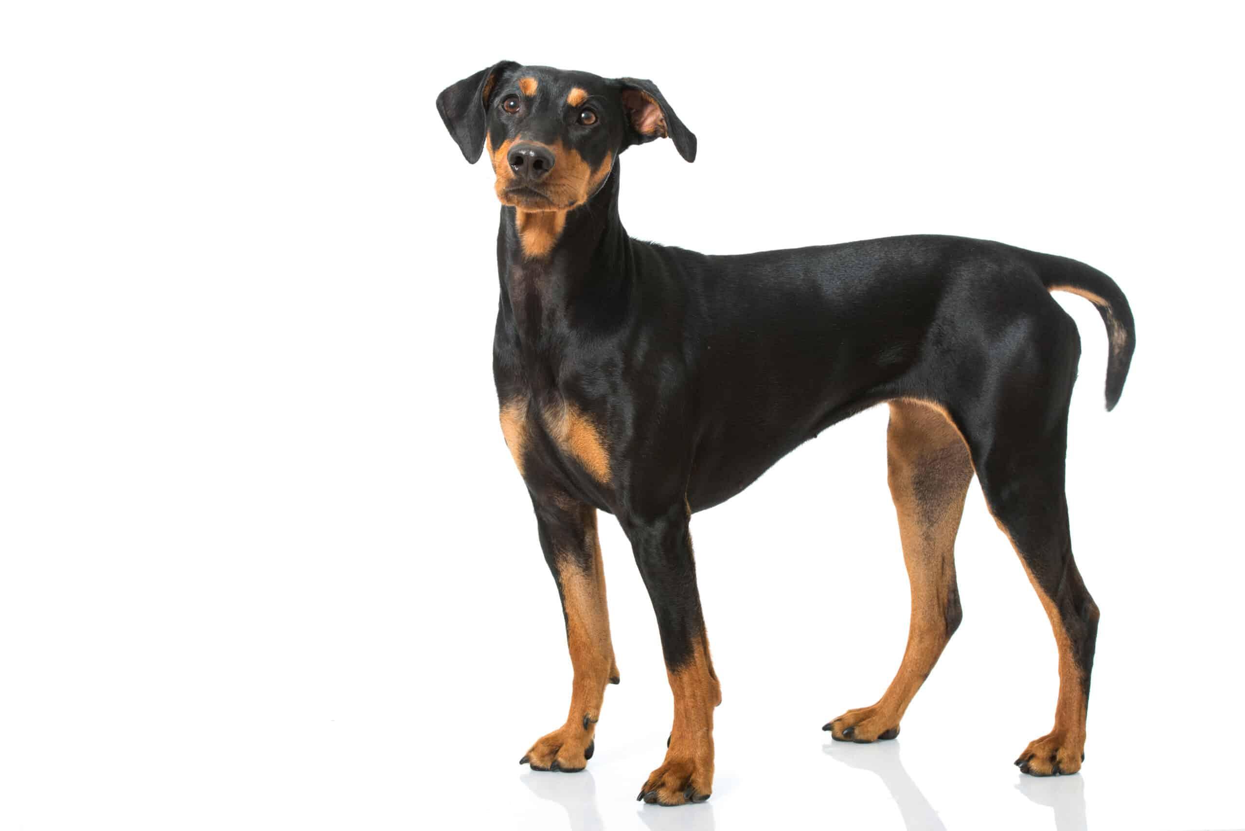 Deutscher Pinscher Hund Profil