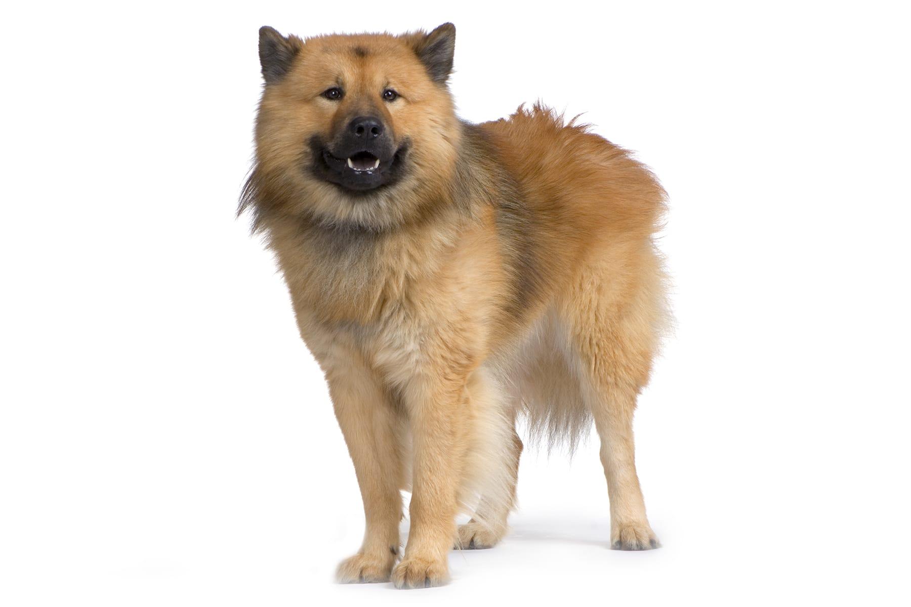 Eurasier Hunderasse Profil