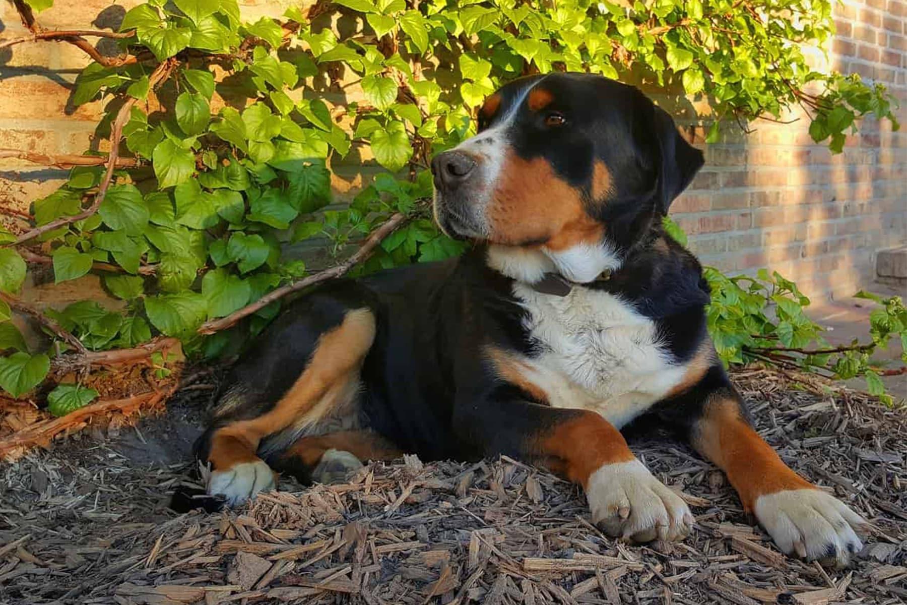 Großer Schweizer Sennenhund liegt
