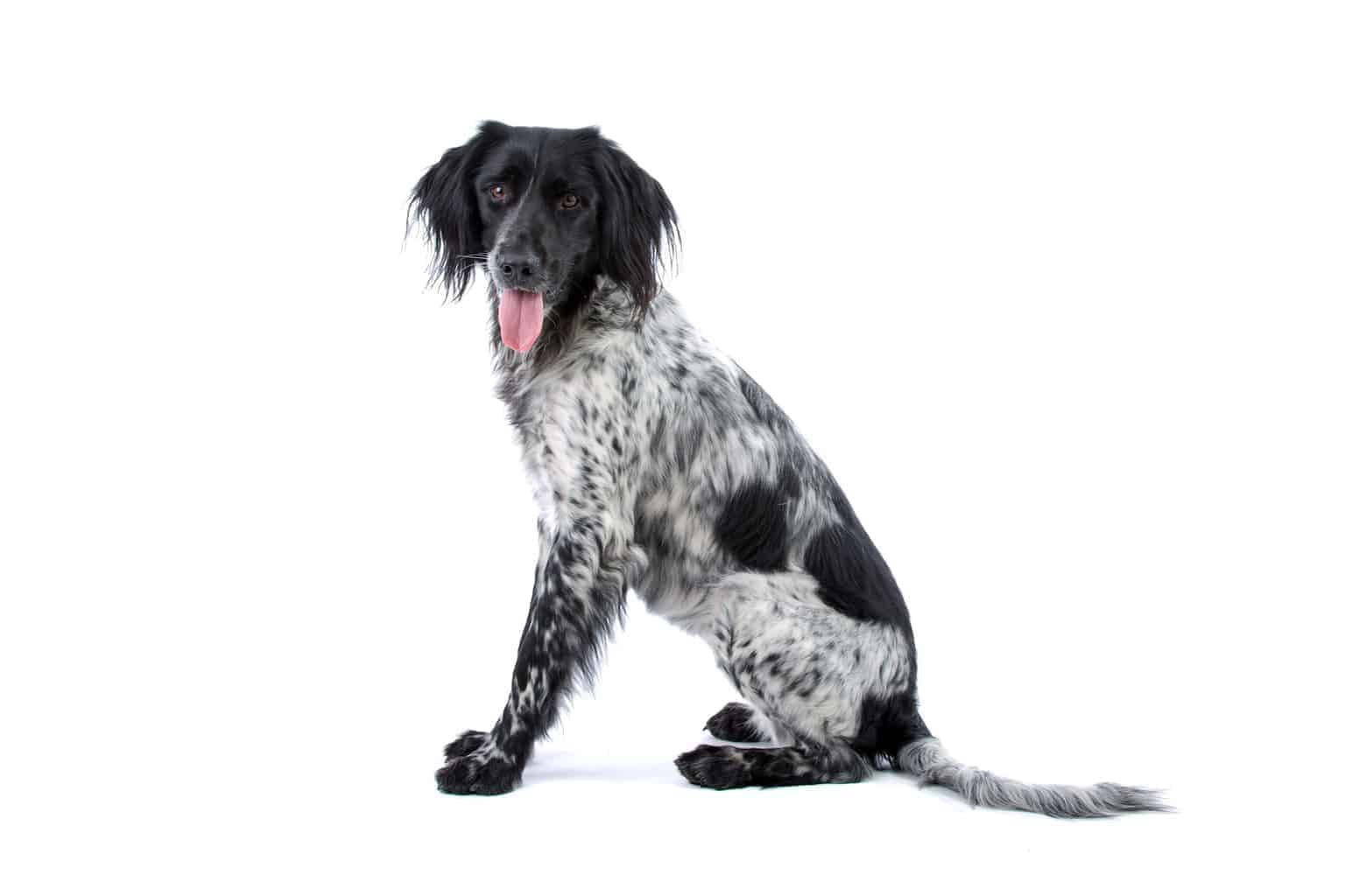 Large Munsterlander hunting dog sitting isolated over white background
