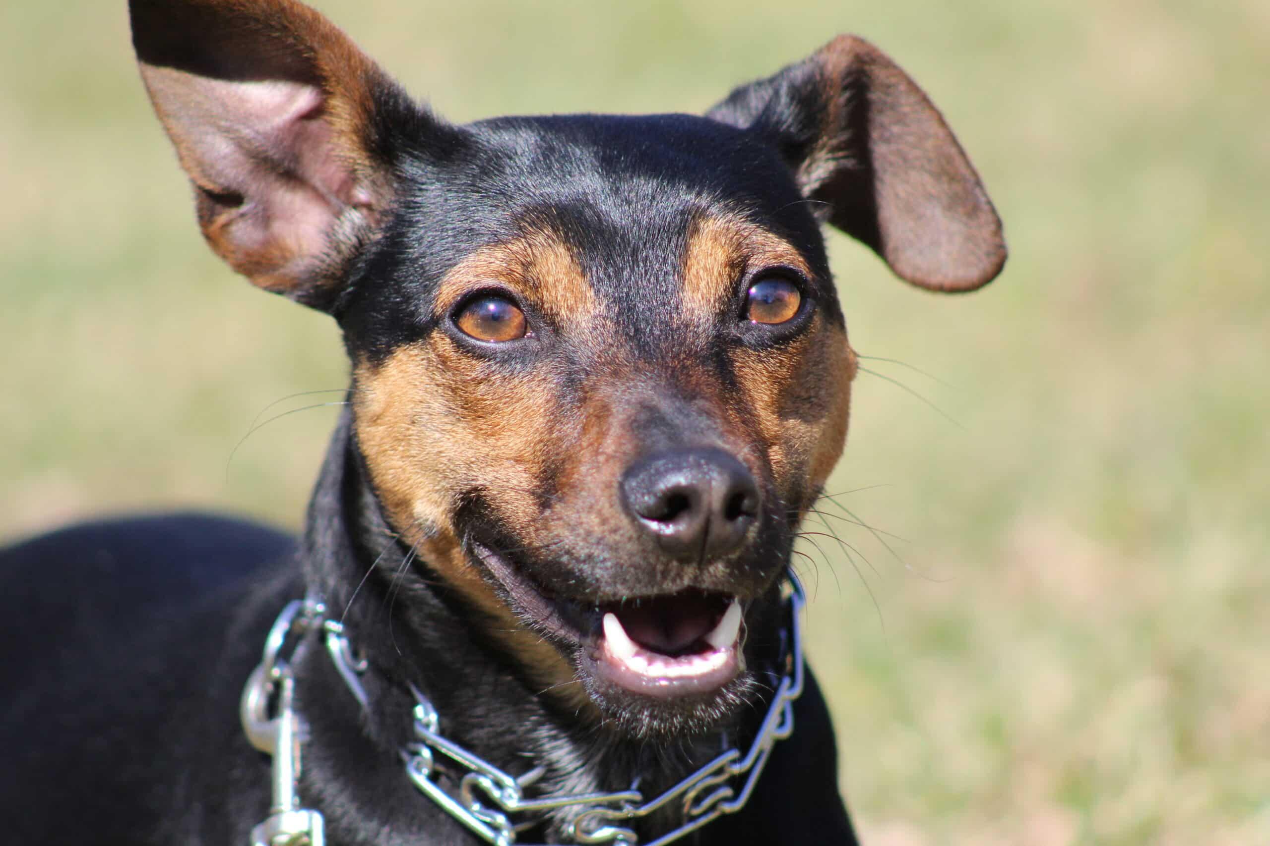 Manchester Terrier Portrait