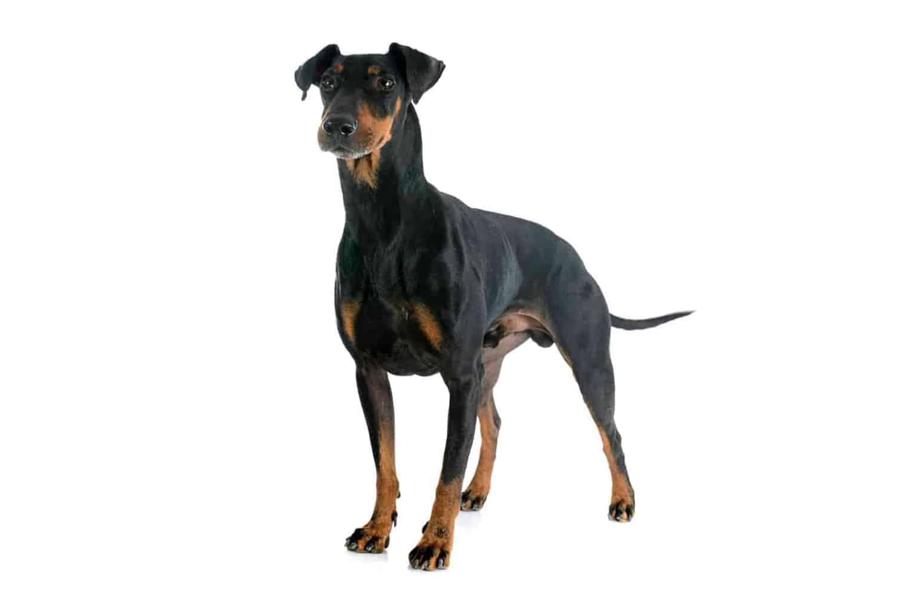 Manchester Terrier Profil
