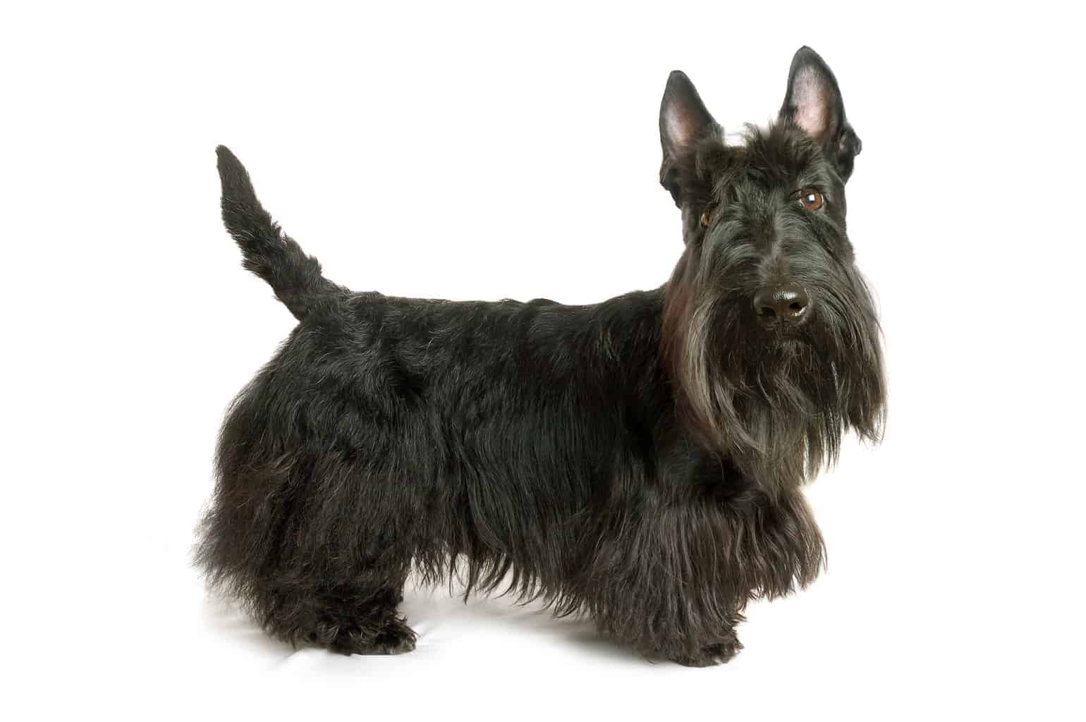 Scottish Terrier Profil