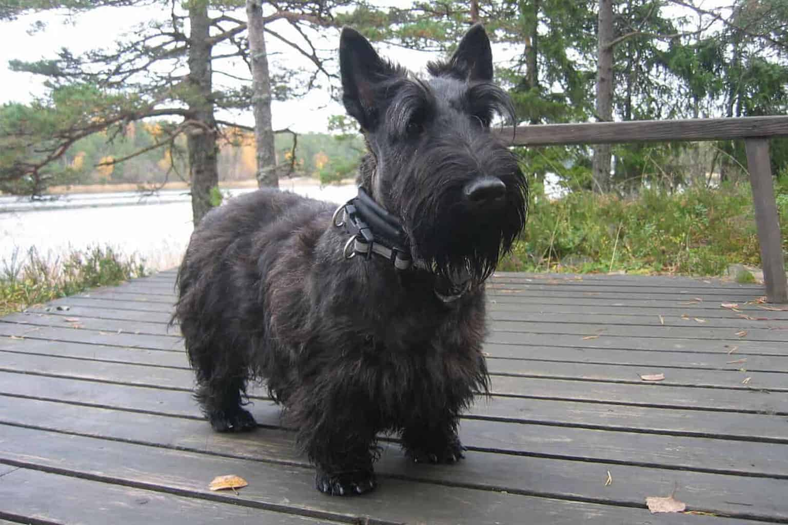 Scottish Terrier am See