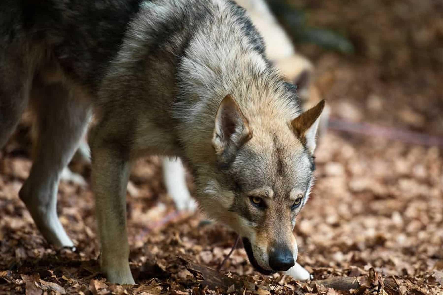 Tschechoslowakischer Wolfshund Portrait