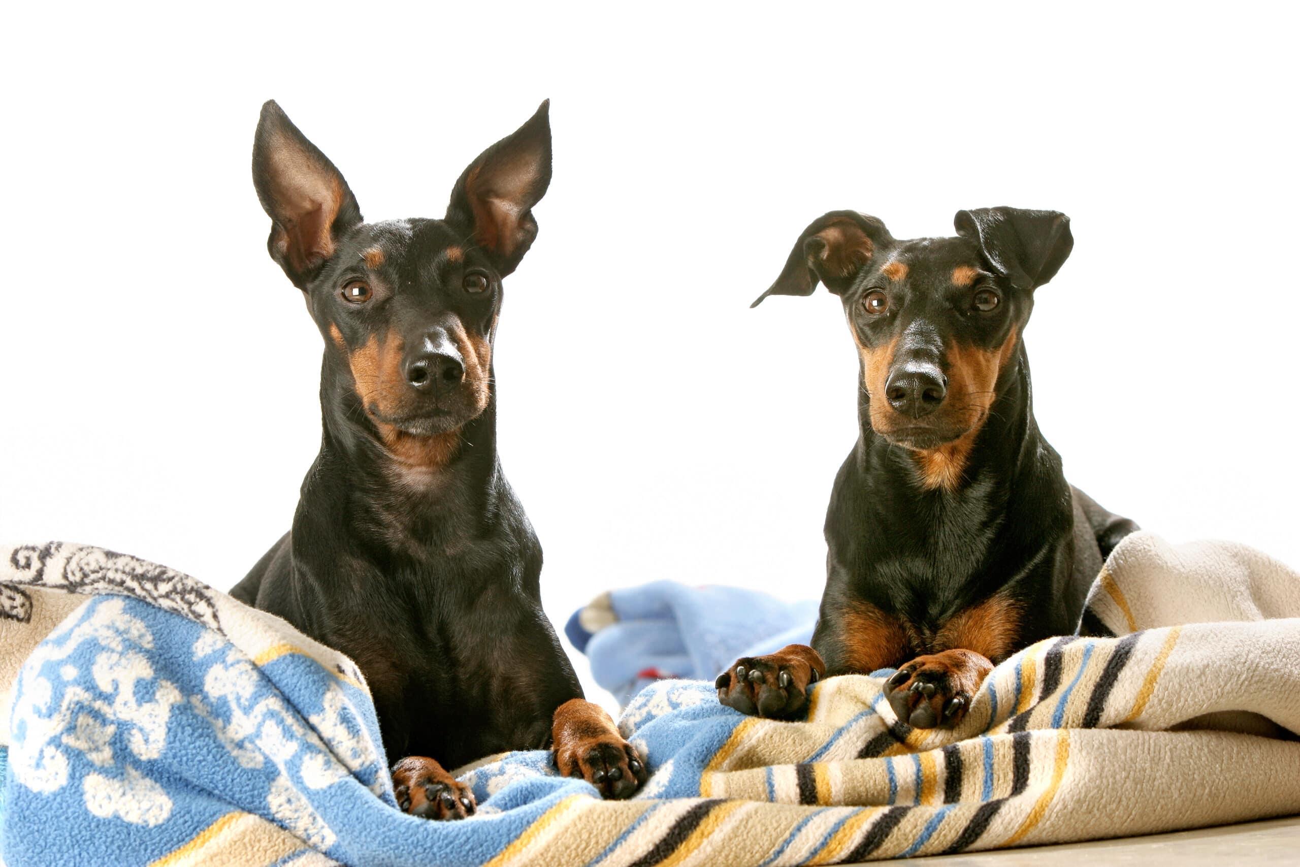 Zwei Manchester Terrier