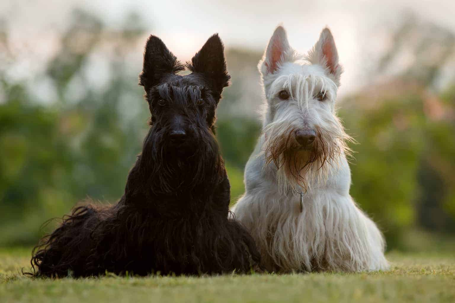 Zwei Scottish Terrier