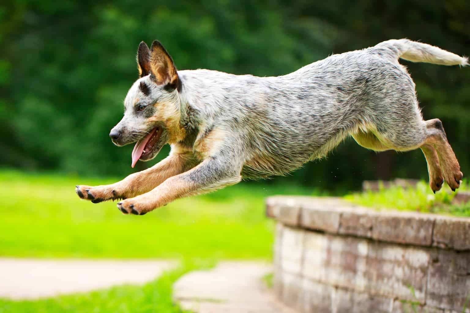 springender Australian Cattle Dog