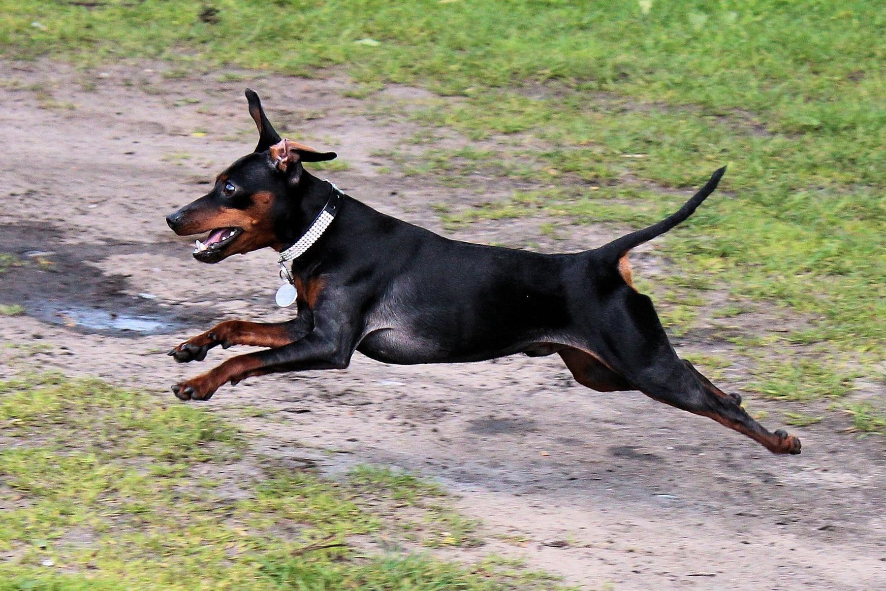 springender Zwergpinscher