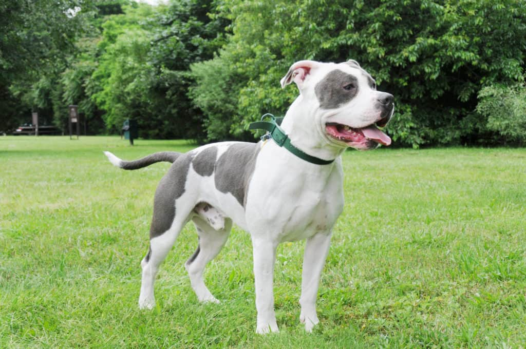 American Bully Hund seitlich