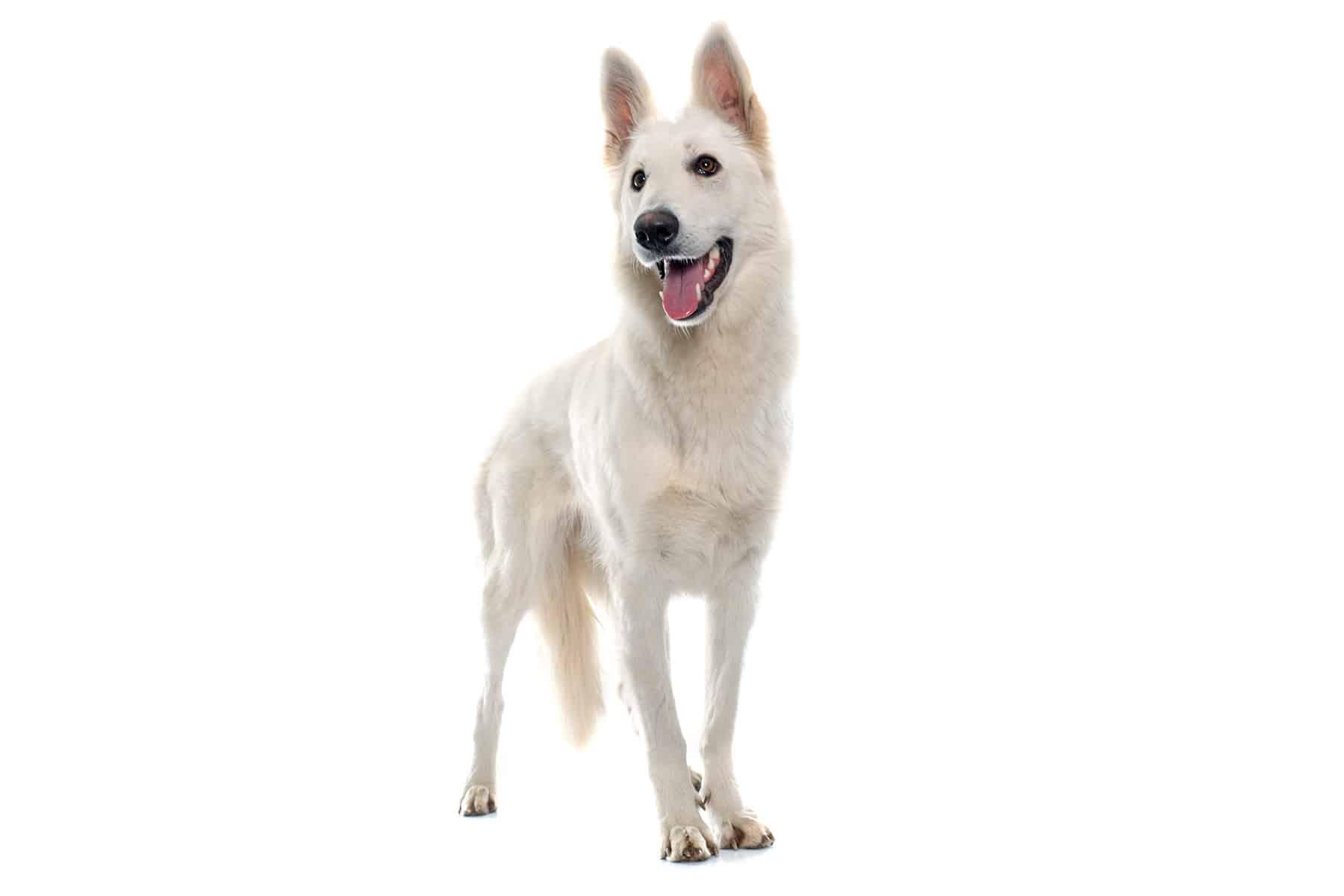 Berger Blanc Suisse Hund Profilbild