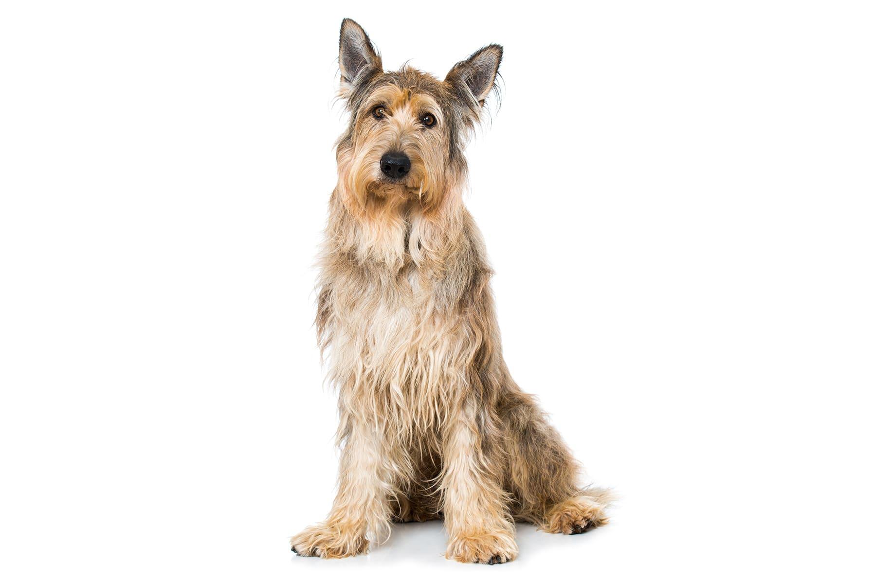 Berger De Picardie Hund Profil