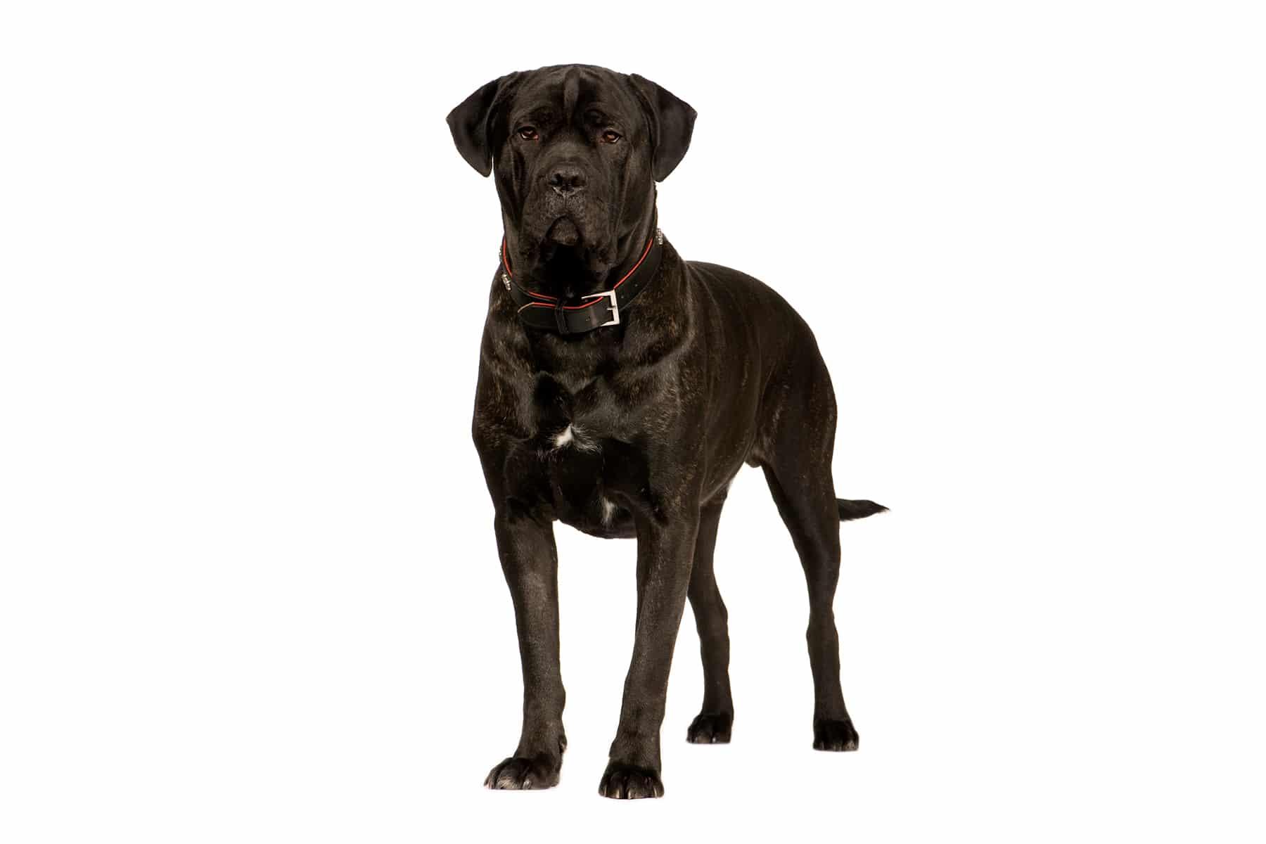 Cane Corso Italiano Hund Profilbild