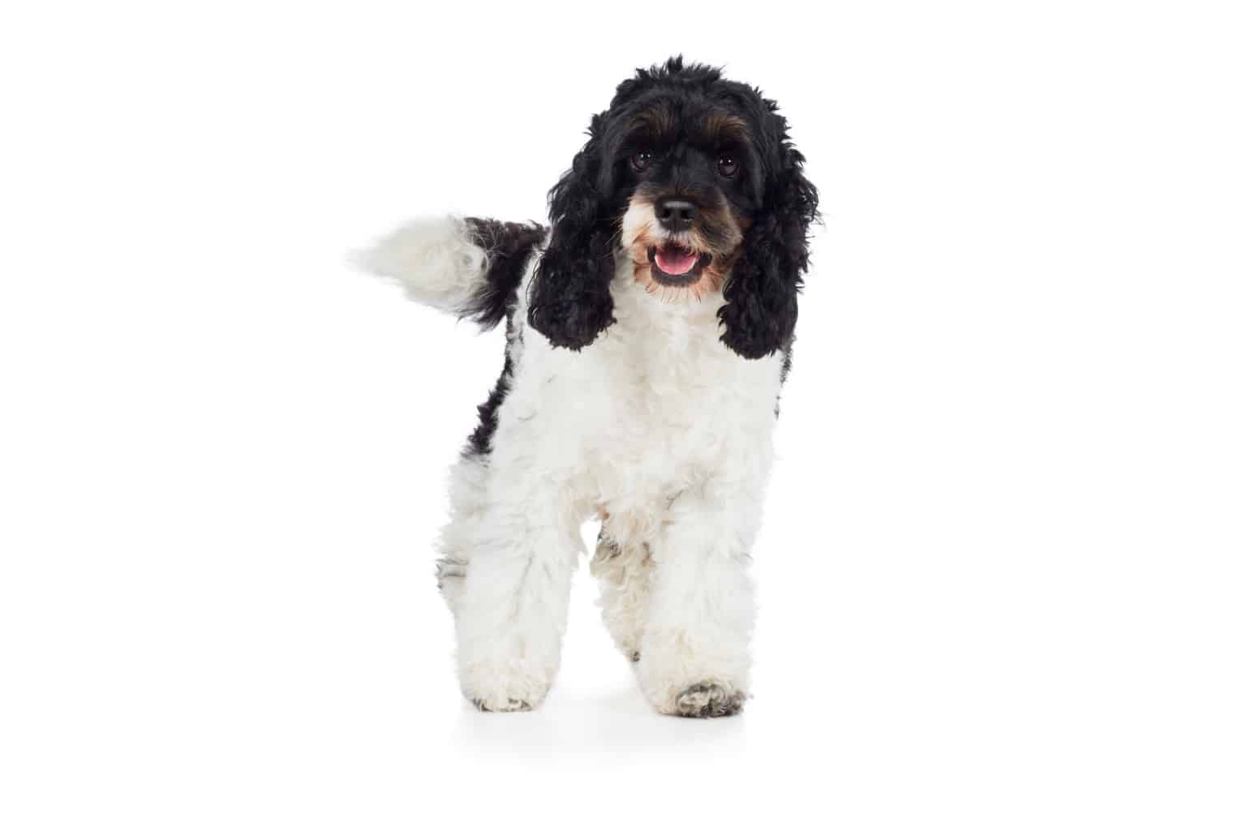 Cockapoo Hund Profil