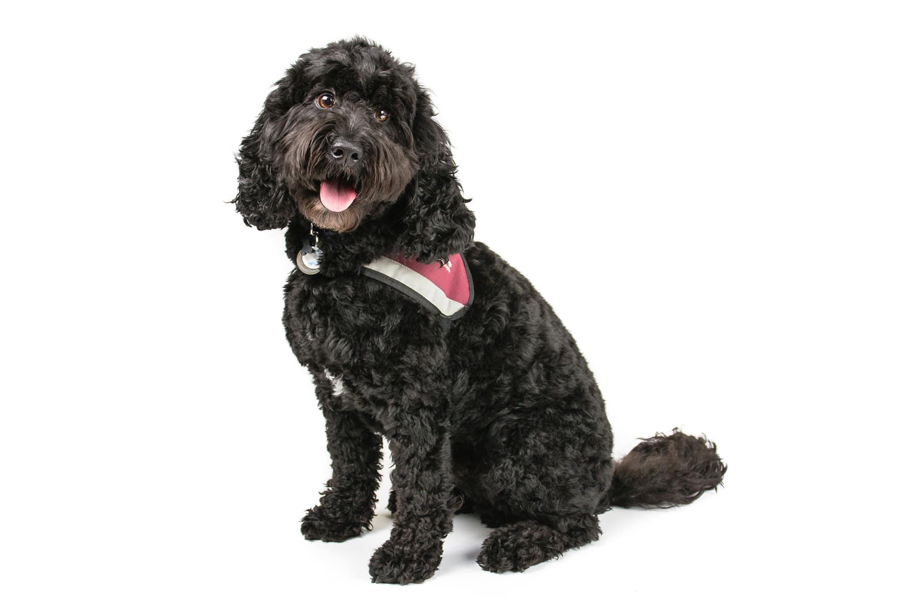 Cockapoo Hund Profilbild