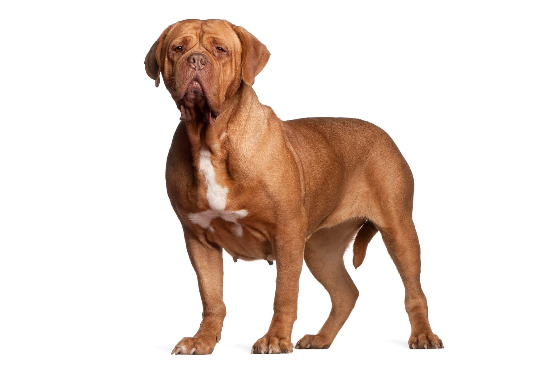 Dogue De Bordeaux Hund Profilbild