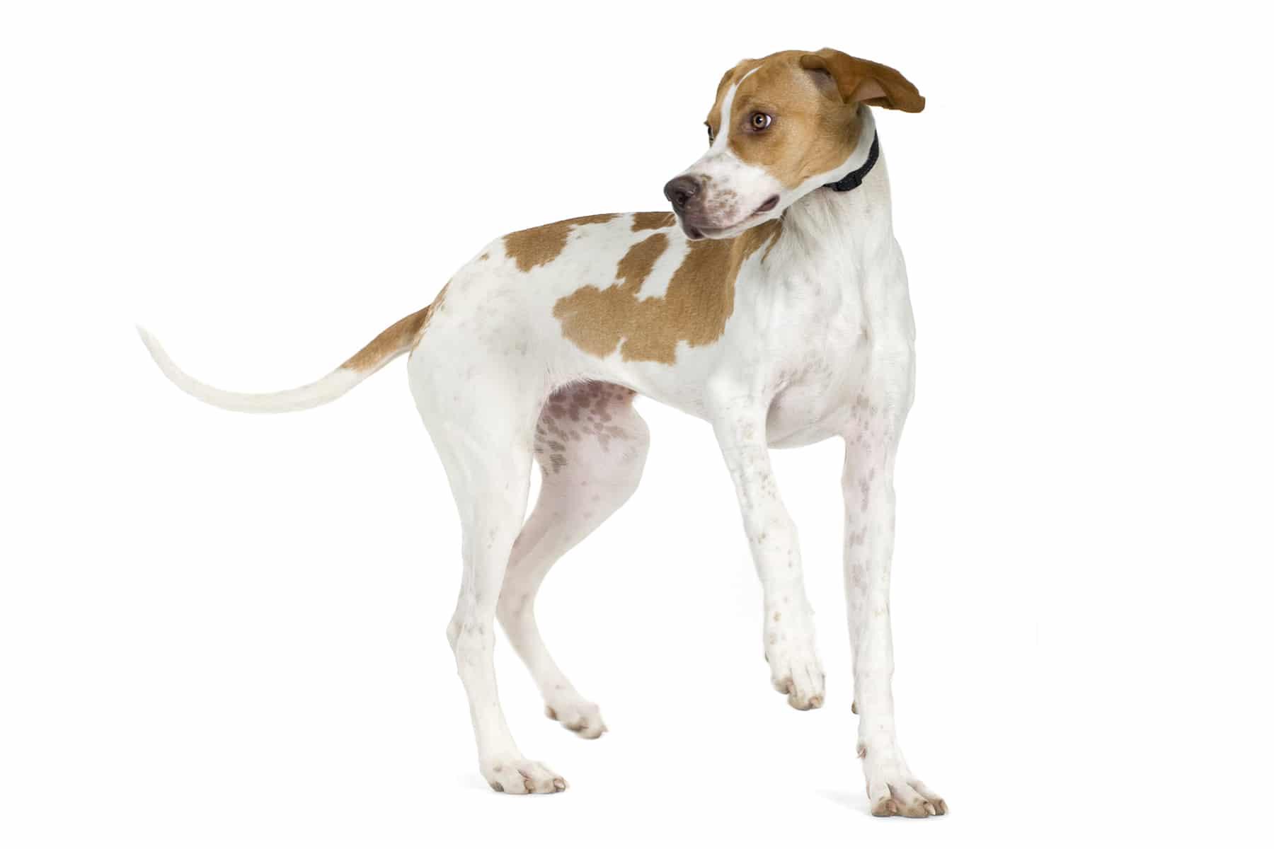 English Pointer Hund Profil