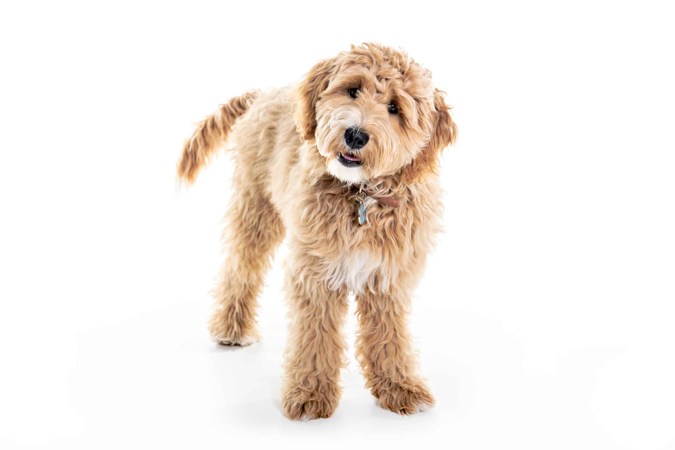 Golden Labradoodle Hund Profil