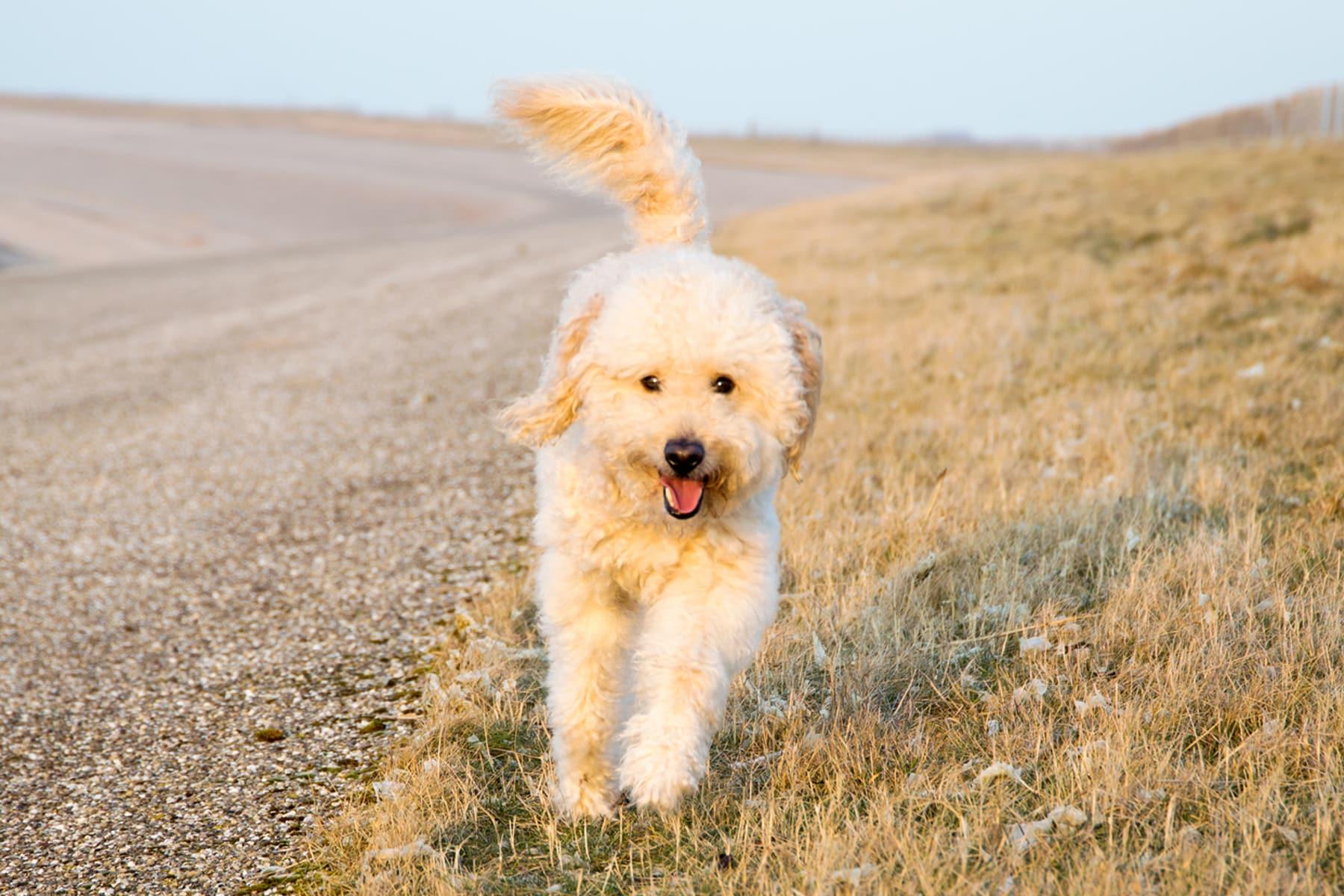 Golden Labradoodle rennt