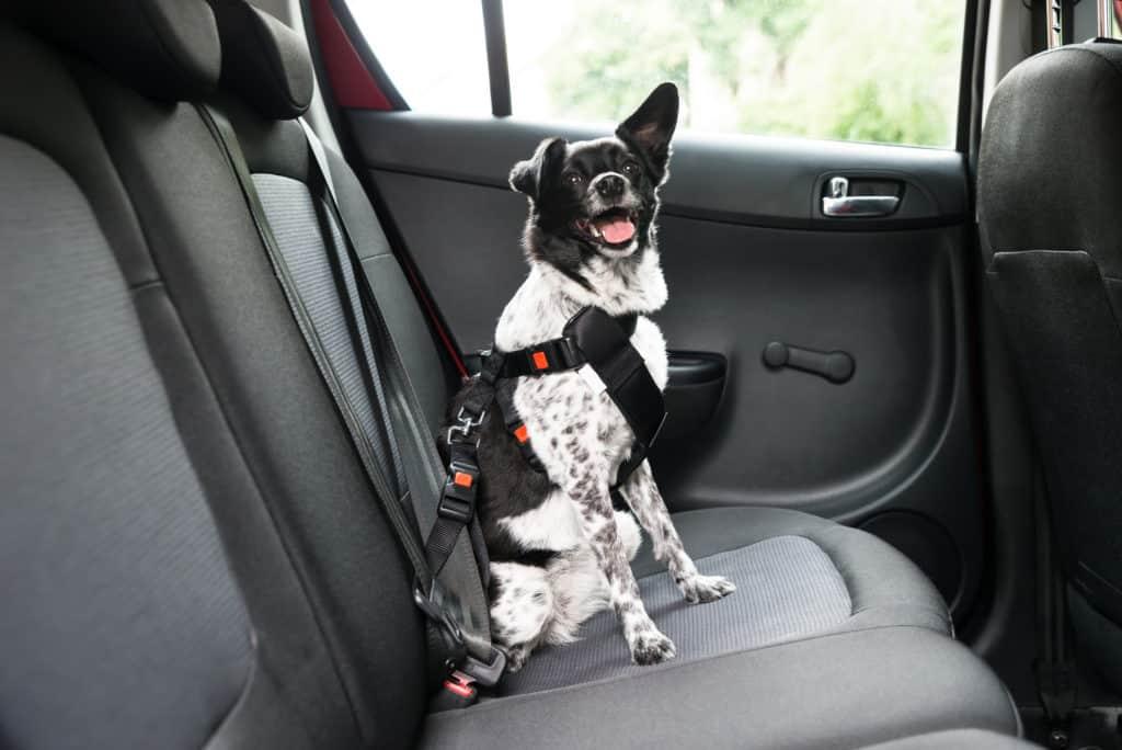 Hund im Auto transportieren? (Das musst du wissen) 1