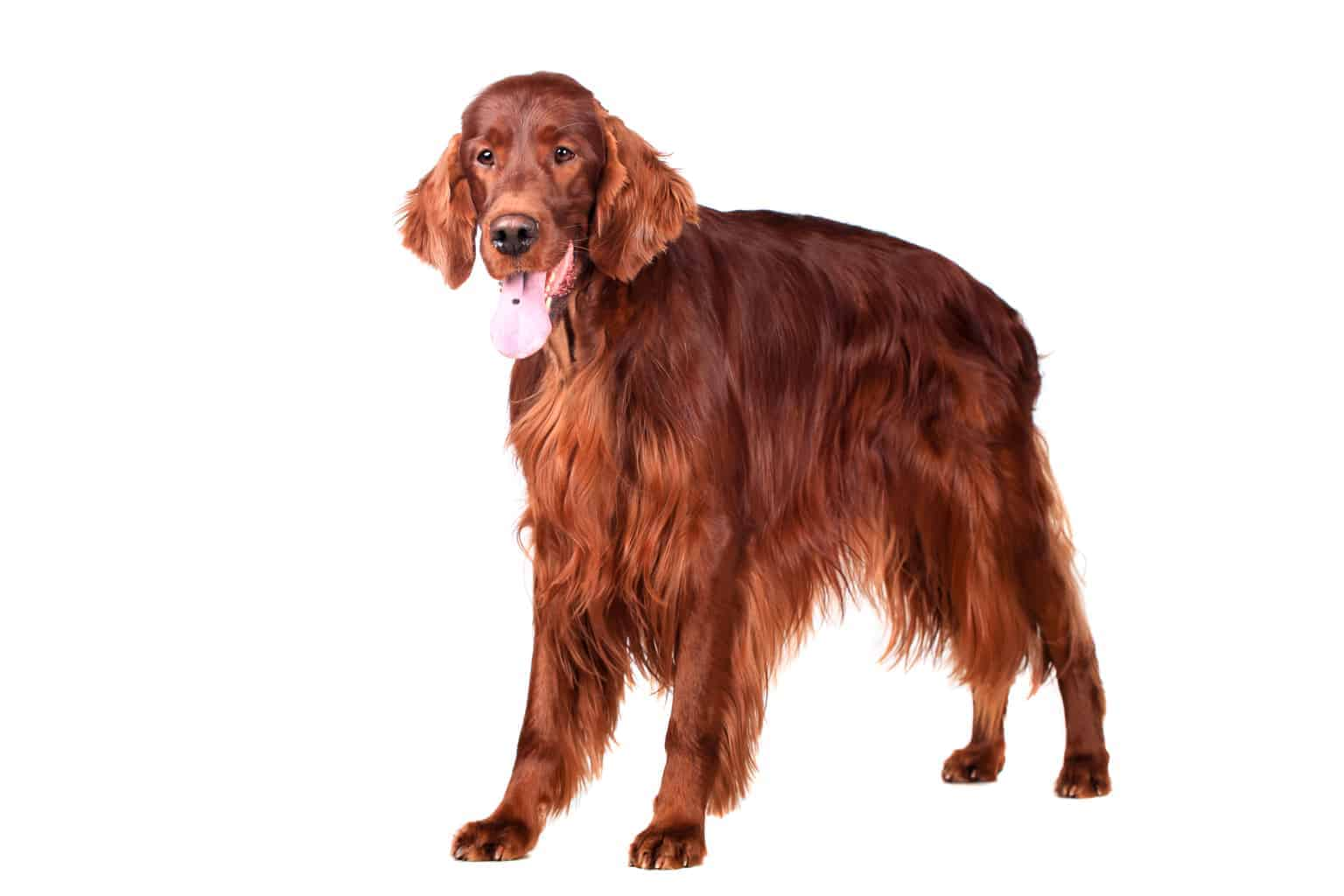 Irish Red Setter Hund Profil
