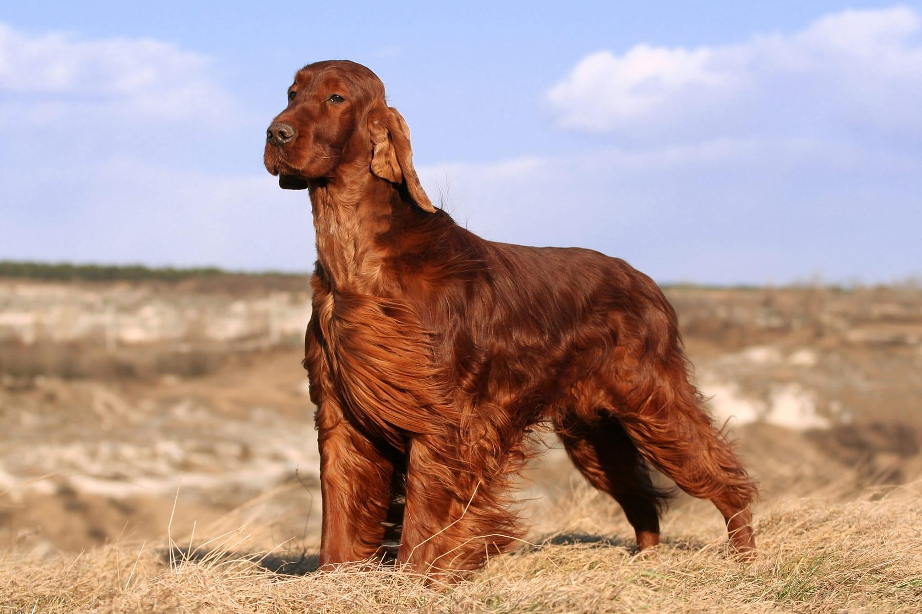 Irish Red Setter Hund seitlich