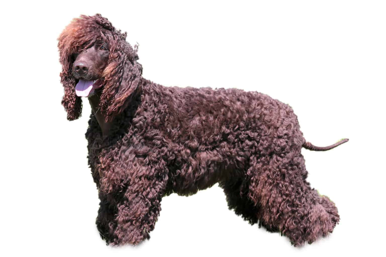 Irish Water Spaniel Profilbild