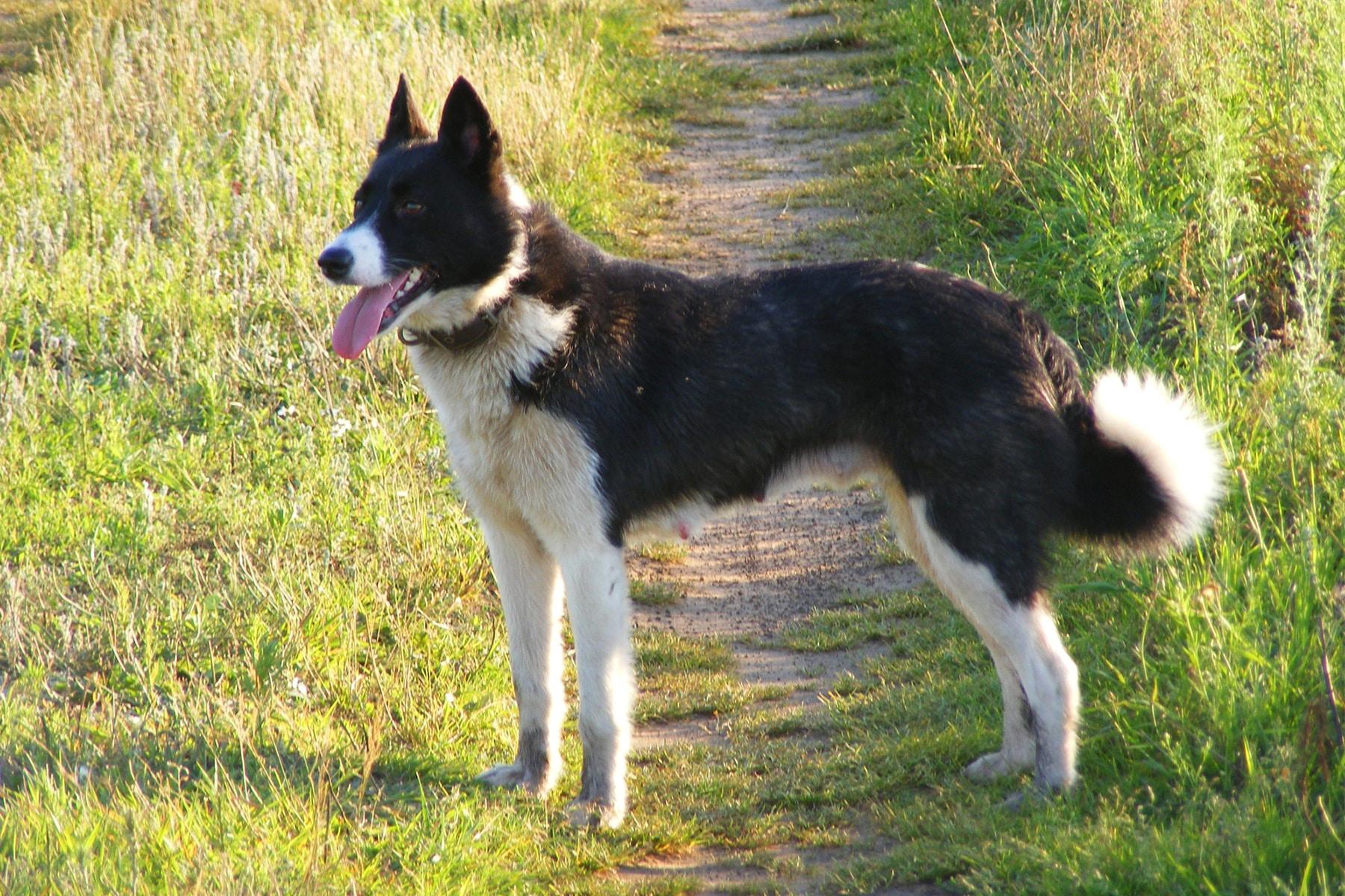 Karelischer Bärenhund seitlich