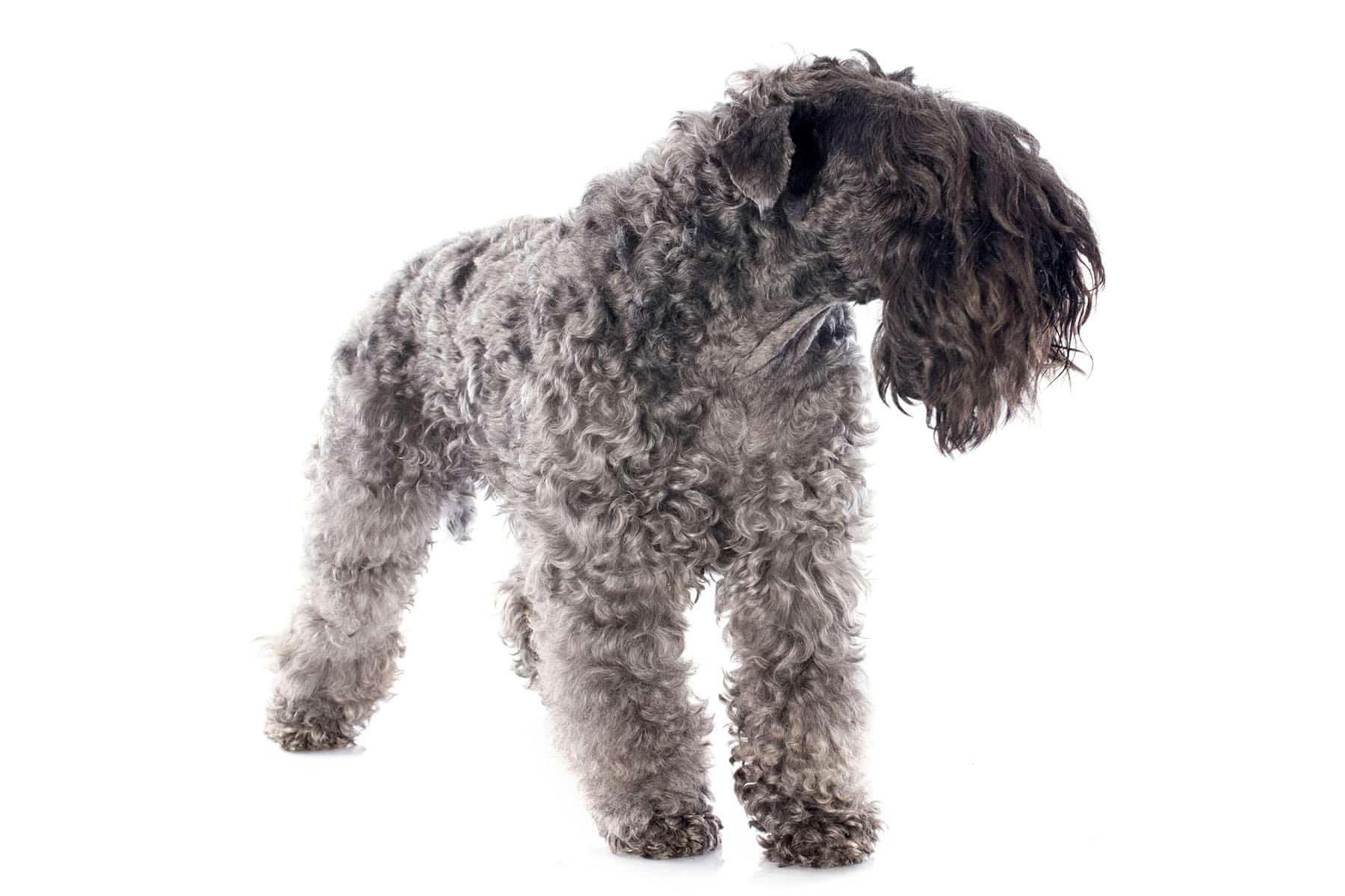 Kerry Blue Terrier Profilbild