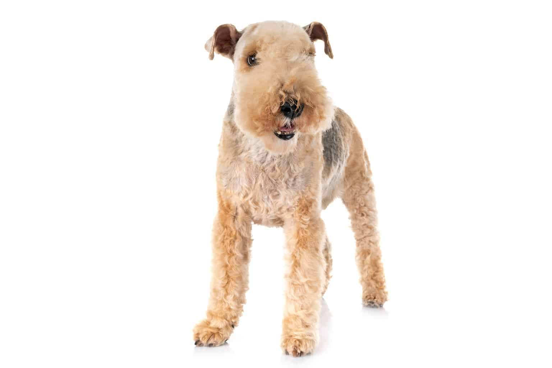 Lakeland Terrier Hund Profil
