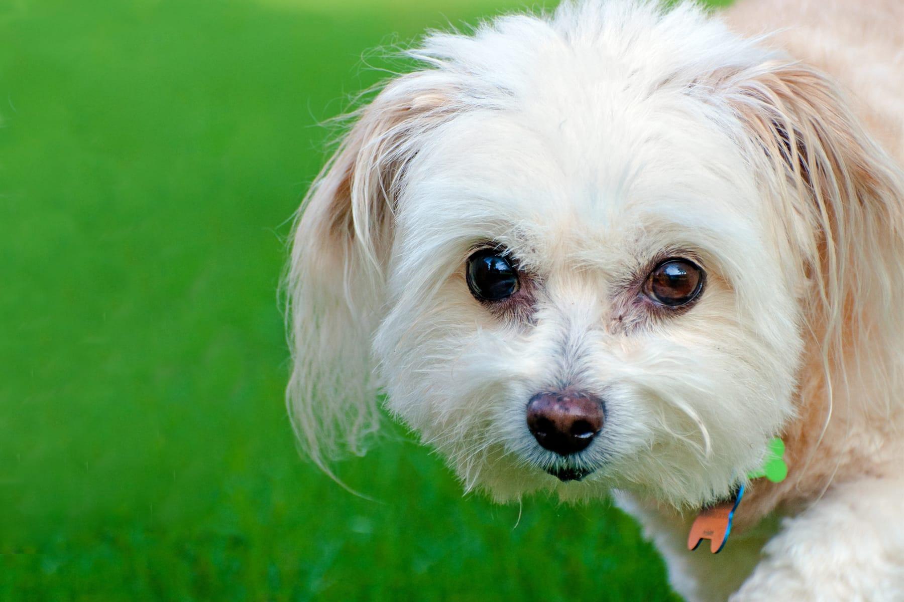 Maltipoo Hund Portrait