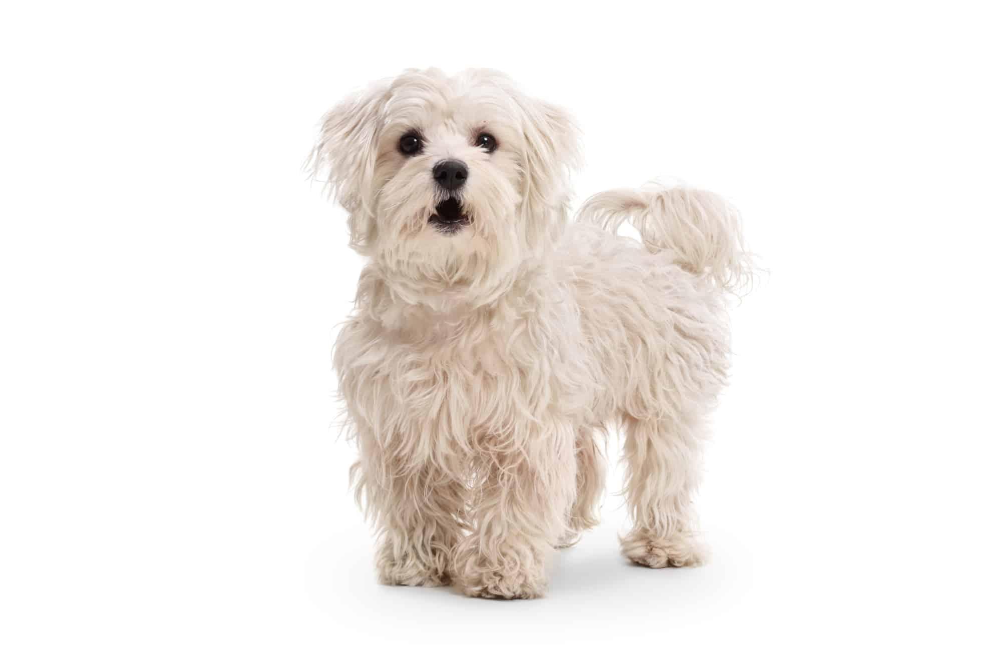 Maltipoo Hund Profil