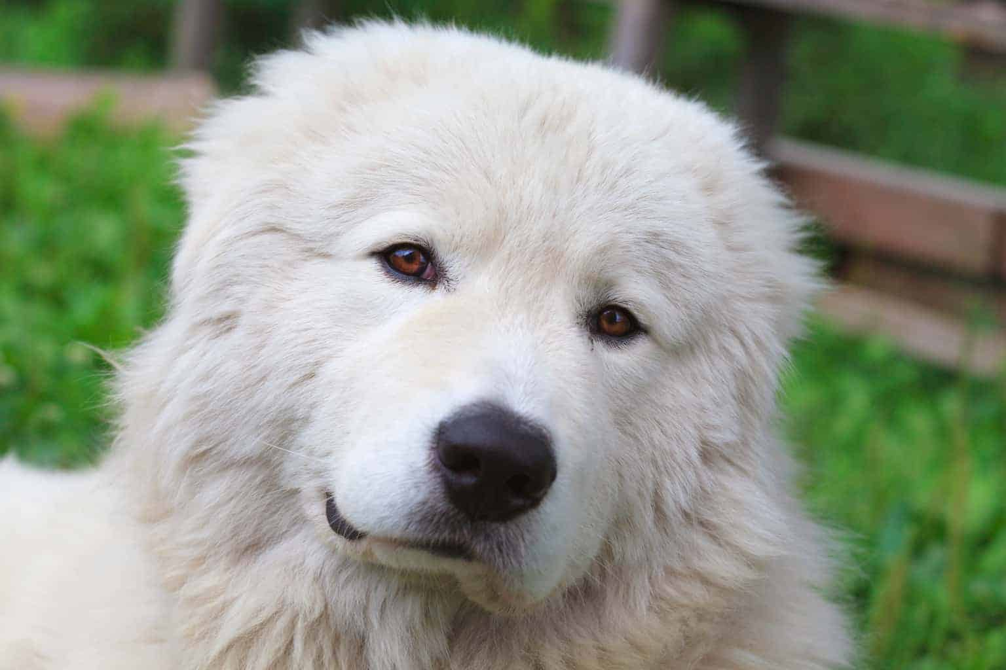 Maremmen-Abruzzen-Schäferhund Portrait