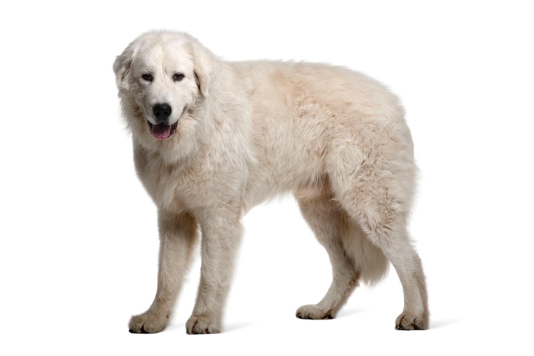 Maremmen-Abruzzen-Schäferhund Profilbild