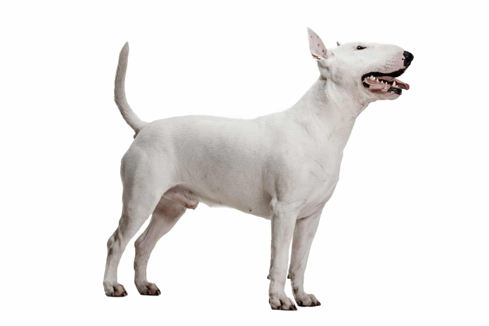 Miniature Bull Terrier Profilbild