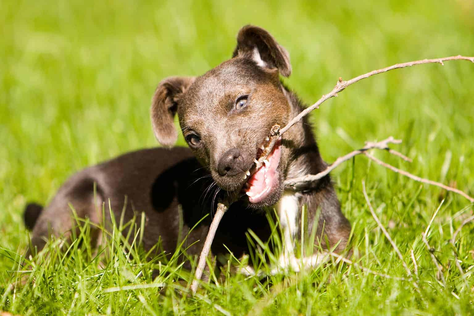 Patterdale Terrier knabbert Stock