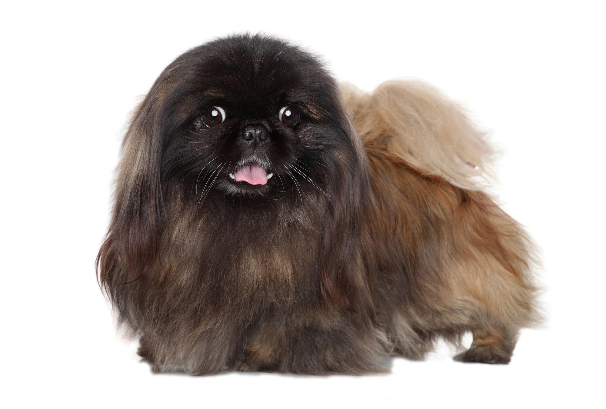 Pekinese Hund Profil