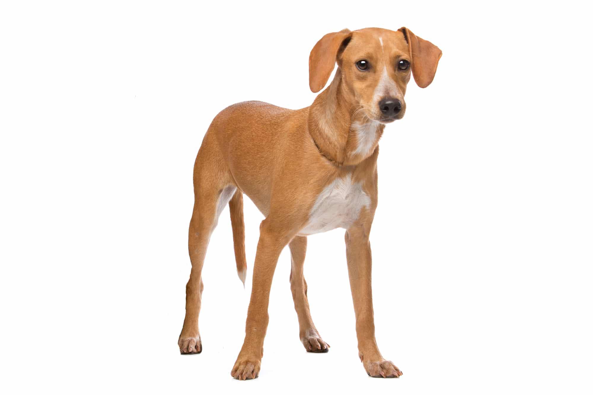 Podengo Português Hund Profilbild