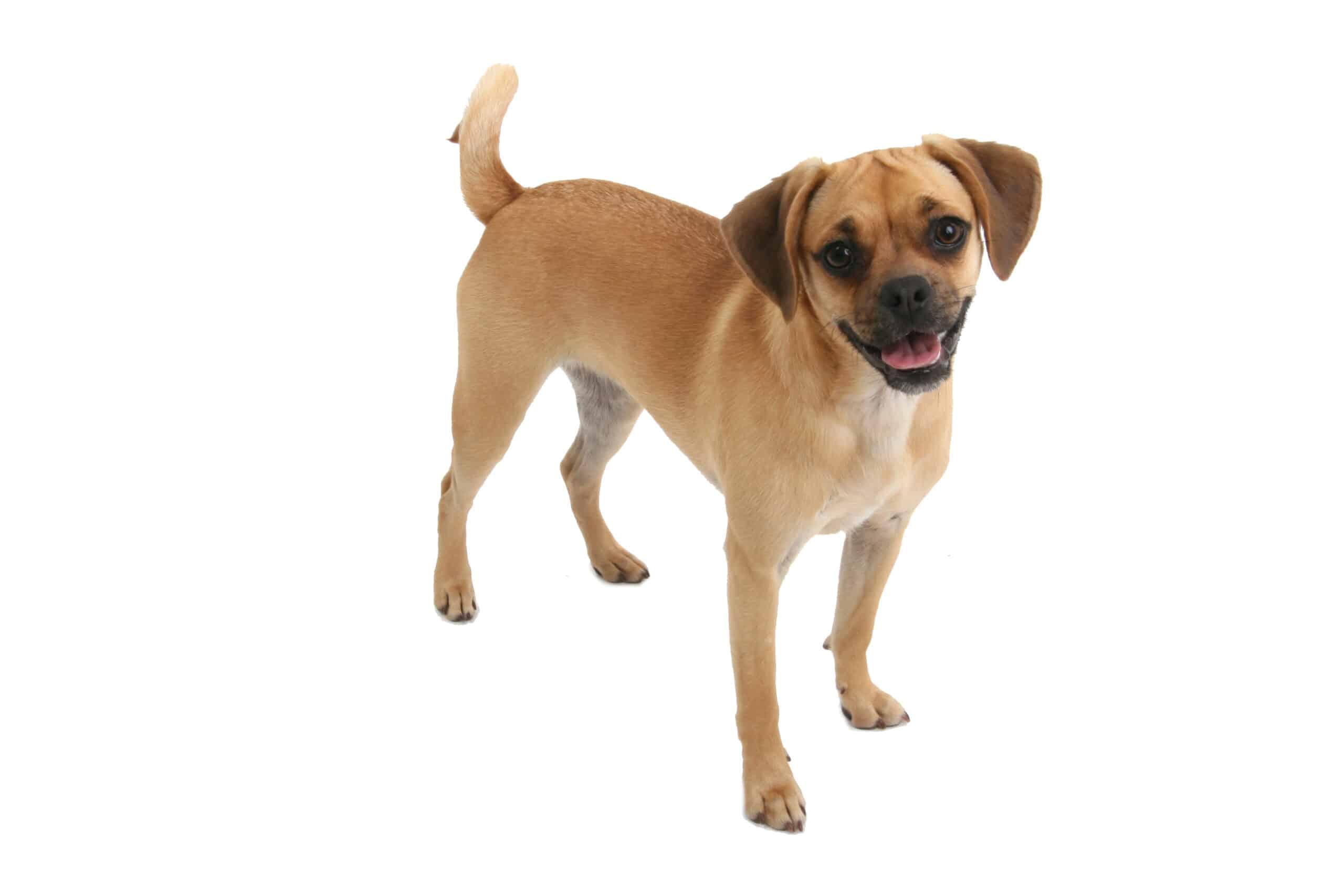 Puggle Hund Profil