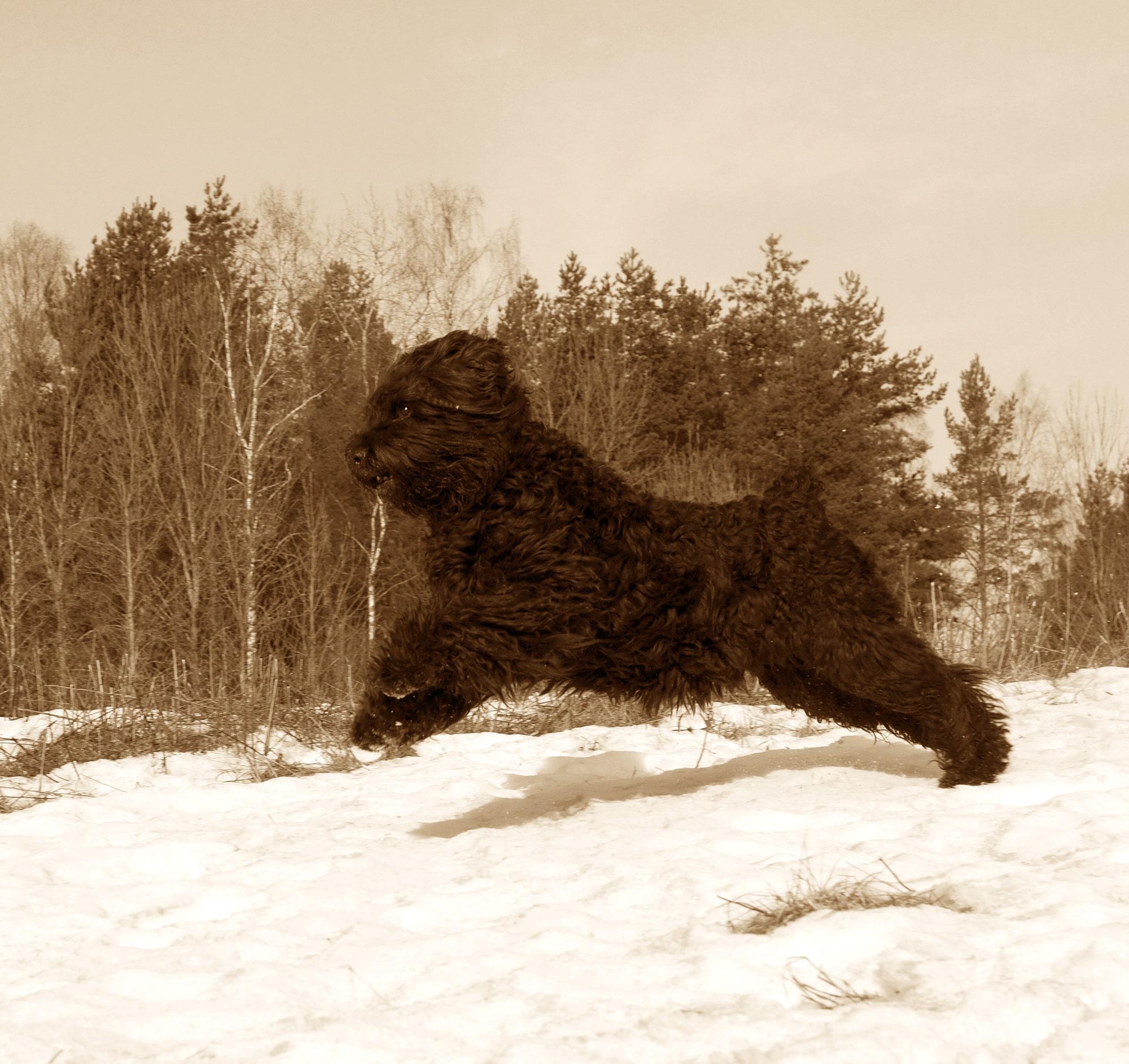Russischer Schwarzer Terrier Herkunftsbild