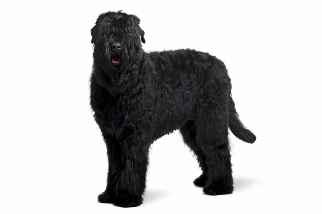 Russischer Schwarzer Terrier Profil