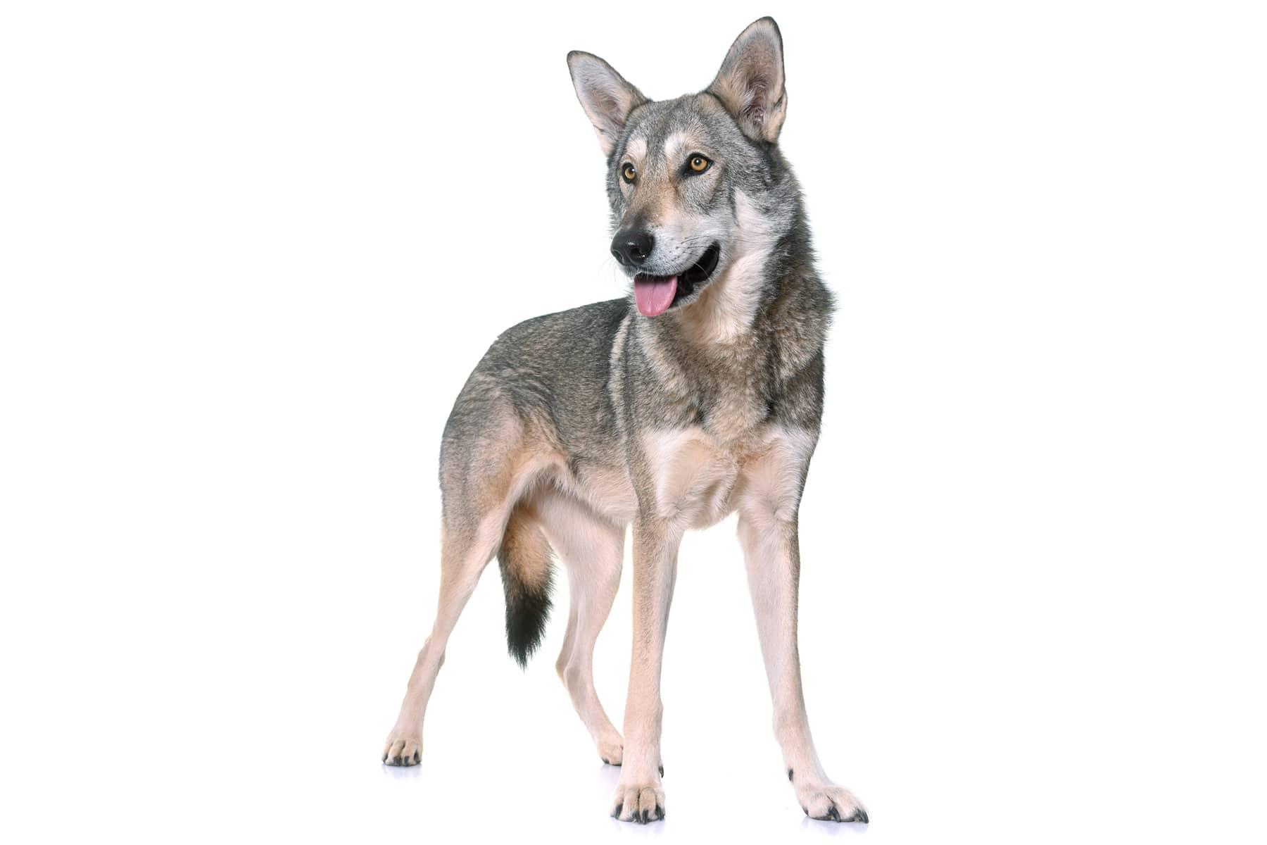 Saarlooswolfhund Profil