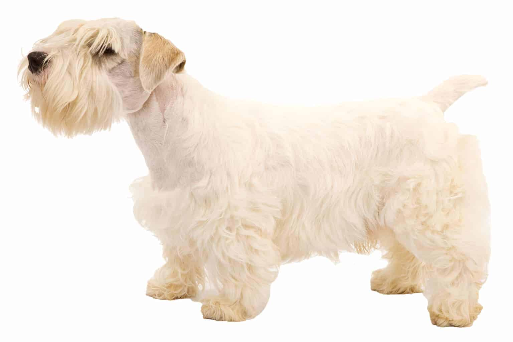 Sealyham Terrier Hunderasse Profilbild